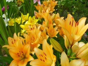Bellos lirios en el jardín