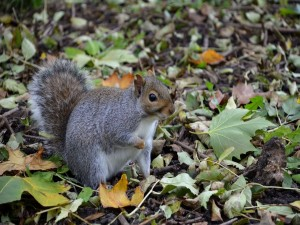 Ardilla en busca de alimento entre las hojas secas