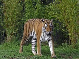 Tigre junto a los arbustos