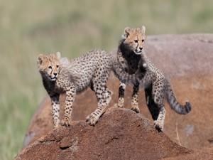 Par de guepardos cachorros sobre una roca