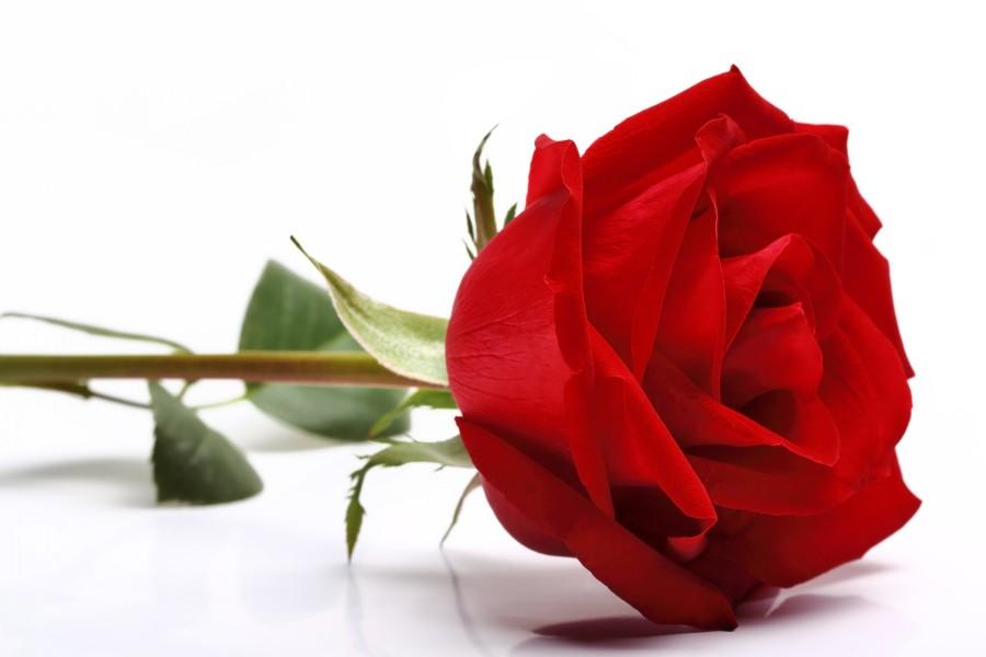 Una bella rosa de color rojo