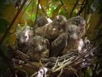 Pequeños polluelos en su nido