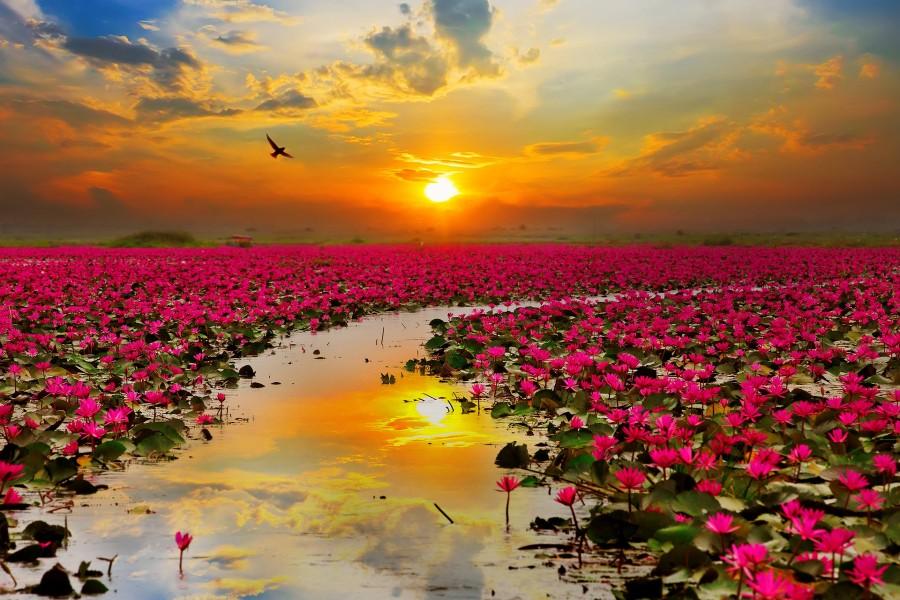 Puesta del sol sobre un lago lleno de flores de loto