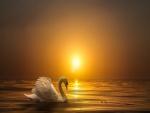 Cisne blanco sobre la puesta de sol