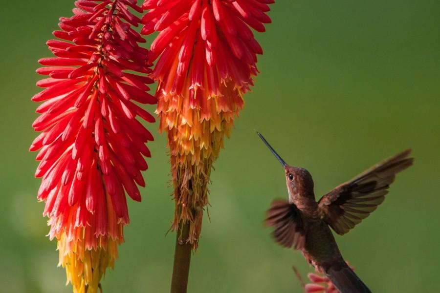 Colibrí volando junto a unas flores