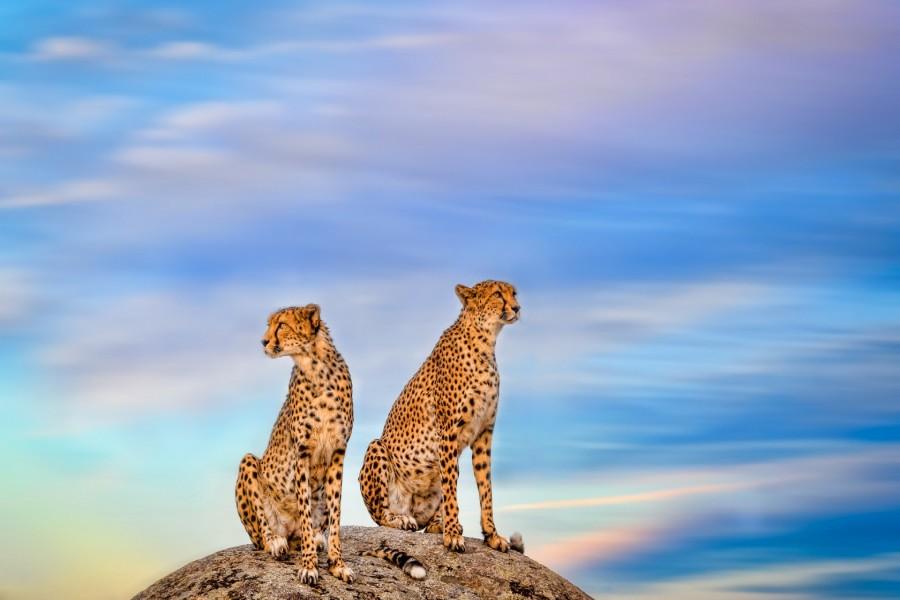 Pareja de guepardos sobre una roca
